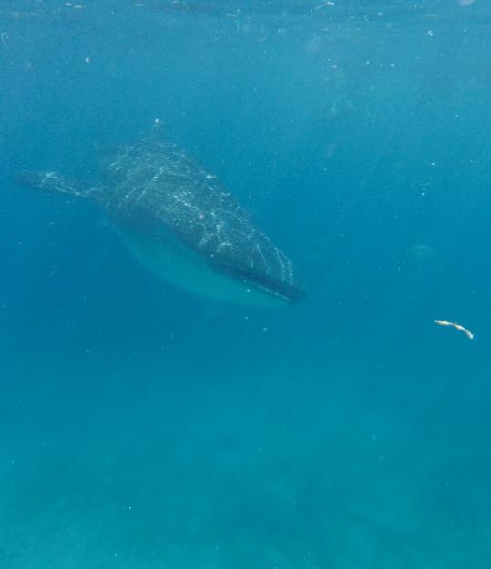 Requin Baleine - Oslob